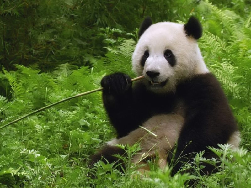 What do Pandas and EPE Thailand have in Common?  A Love for Bamboo.